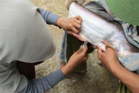 Improving the Quality of Catfish Sperm, IPB University Researchers Perform Zinc Supplementation